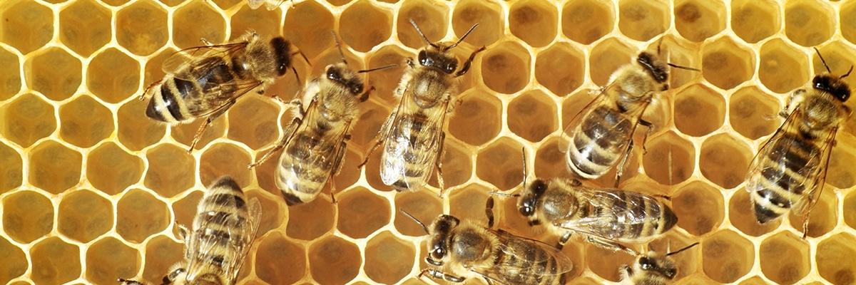 bee-honeycumb