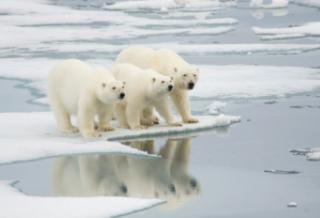 polar-bears-climate-change
